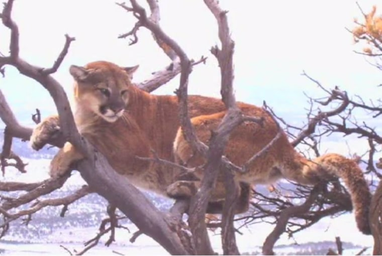 Mountain lion numbers have risen recently, according to Colorado Parks and Wildlife.
