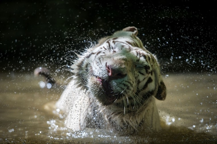 White tiger shaking it off