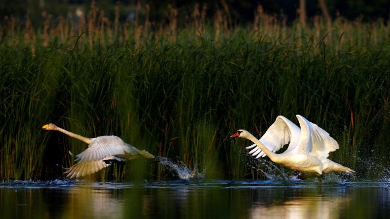Swans take off from a lake near the village of Novosyolki