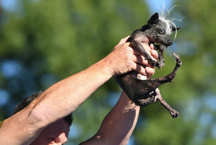 Sweepee Rambo crowned this year's world's ugliest dog
