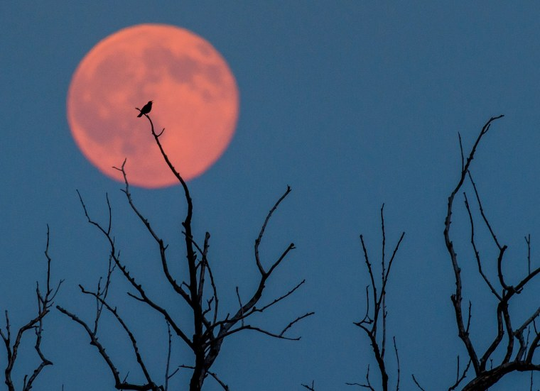 Image: A bird sits  on a tree in front of a full moon in Jacobsdorf near Frankfurt an der Oder, Germany