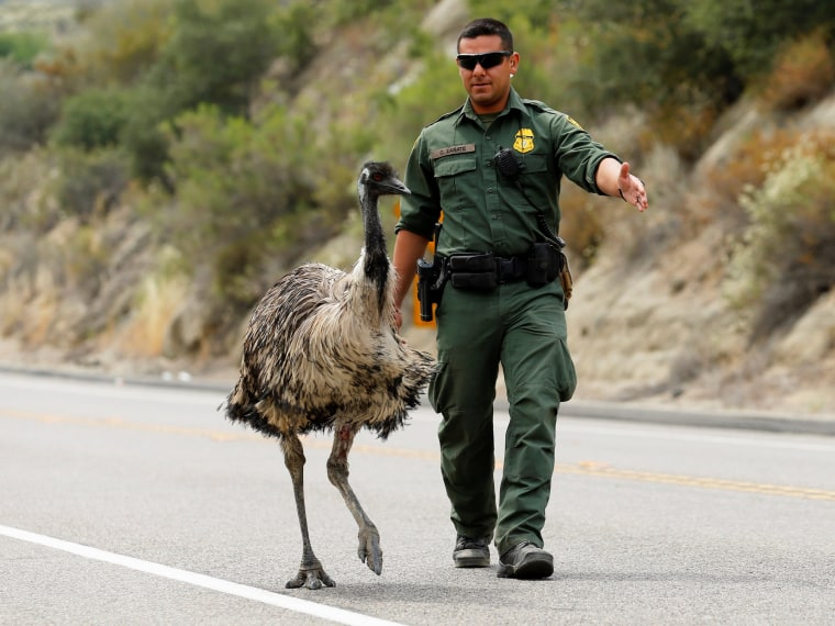Image: U.S. Customs and Border Patrol officer Constantino Zarate tries to heard an Emu off the highway near wildfire