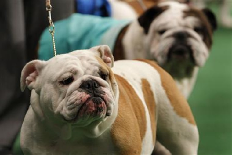Bulldogs stand in the ring during competition at the 136th Westminster kennel Club Dog Show in New York's Madison Square Garden