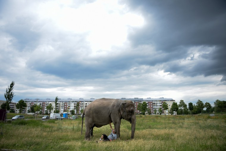 Image: Elephant of Circus Busch on his daily walk in Berlin