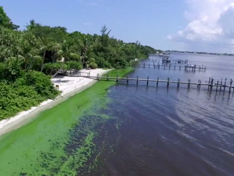 Blue Green Algae in the St. Lucie River in Florida.