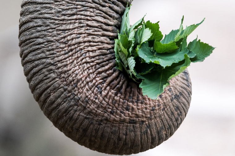 Elephant carrying leaves