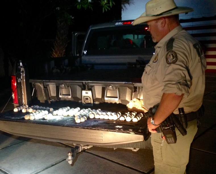 A Florida Fish and Wildlife Conservation (FWC) officer observes a batch of loggerhead sea turtle eggs that were confiscated from Glenn Shaw after he was allegeldy observed stealing the eggs from a beach behind a home on Jupiter Island.