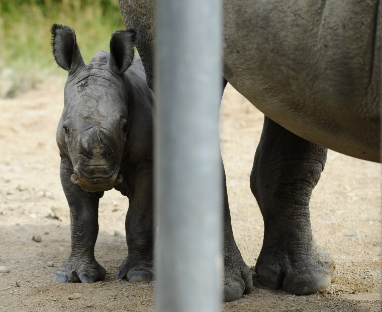 Bayami, a newborn baby white rhinoceros, stands next to its mother at the zoological park in Amneville, France on July 13th.
