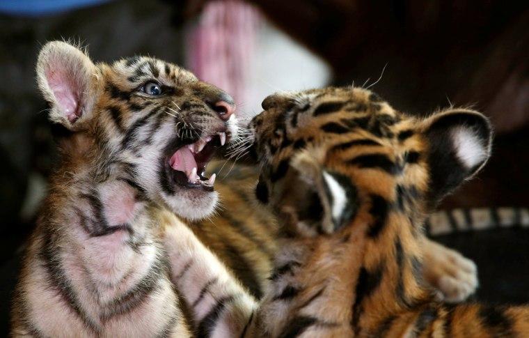 Bengal Tiger cubs at play