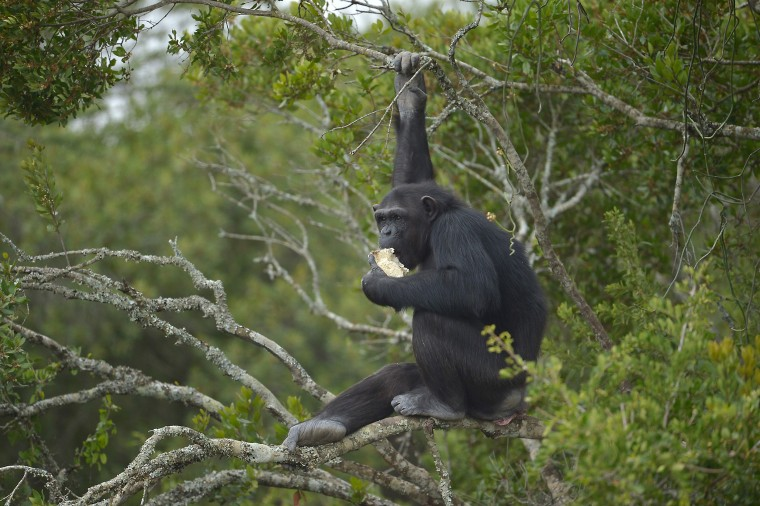 The picture from July 14th shows a rescued chimpanzee eating in an enclosure at the Sweetwaters sactuary, Kenya's only great-ape sanctuary.