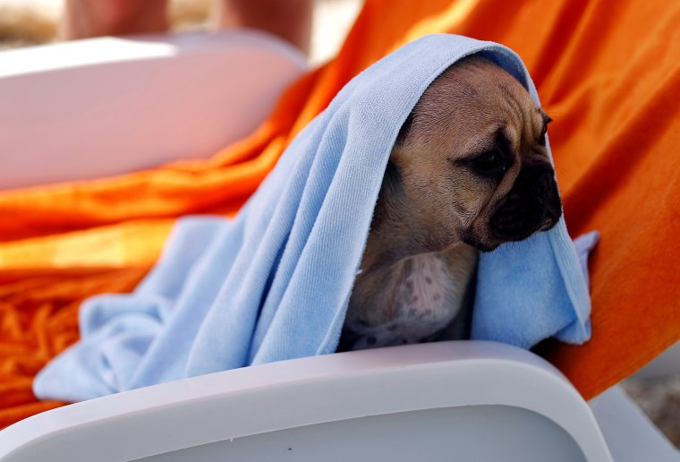 Dog in a towel on thw beach
