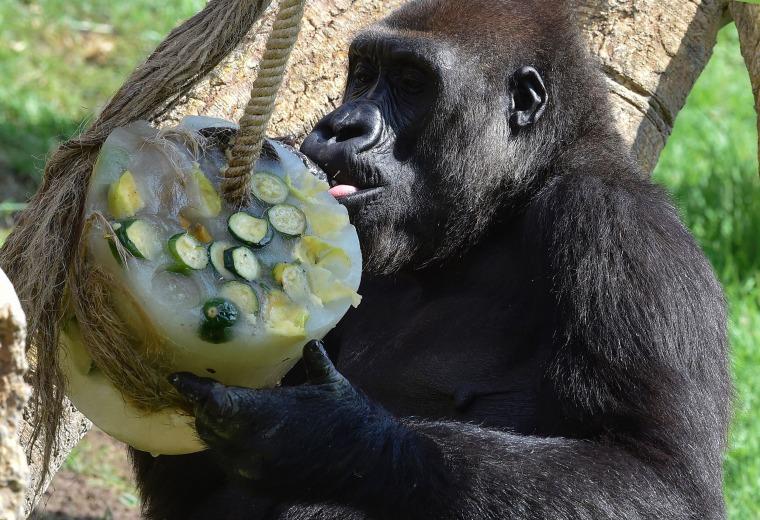 Gnawing gorilla