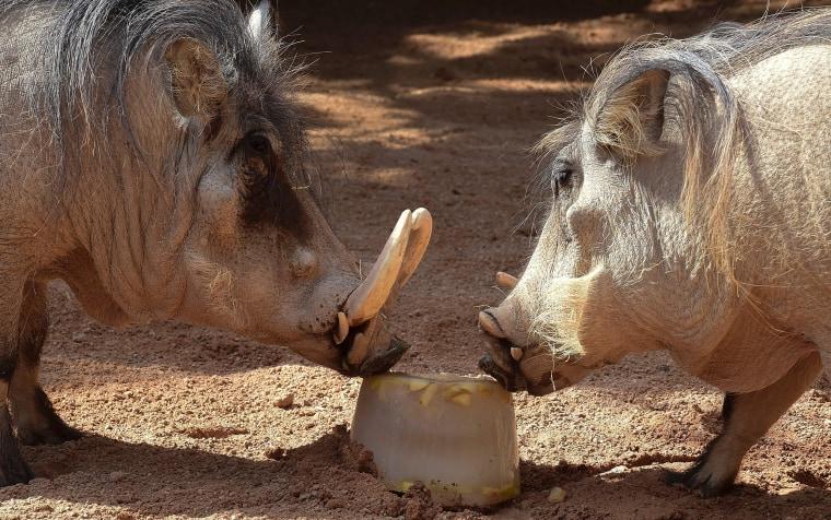 Nibbling warthogs