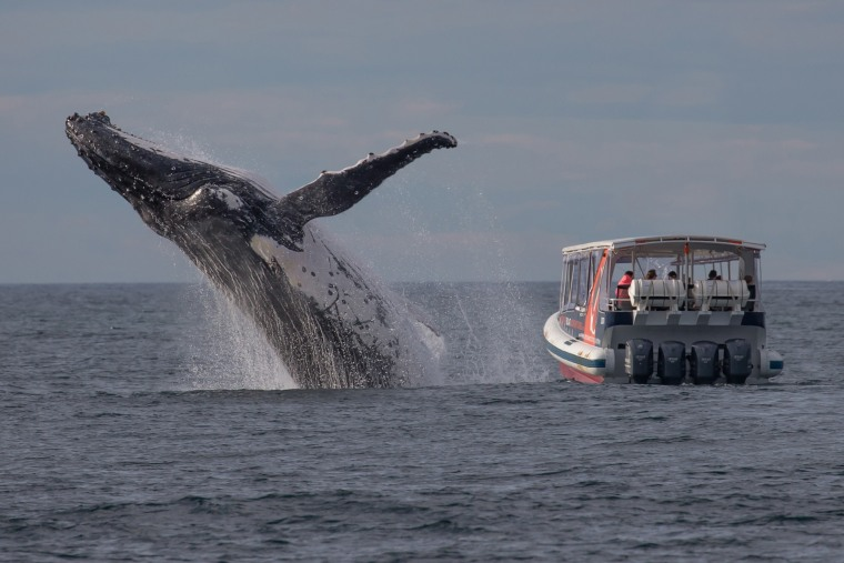 Image: Whale-watchers off Sydney's northern beaches have a very close encounter with a humpback.