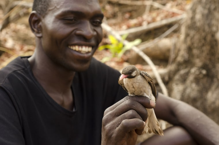 """Yao honey-hunter Orlando Yassene holds a male greater honeyguide temporarily captured for research in the Niassa National Reserve, Mozambique, on Oct. 4, 2013. Humans and a wild bird species over centuries have learned to work together, adapt to each other culturally and genetically with a simple sound: """"Brrr-hm.""""??  When human honey-hunters make that call, the wild bird called the honeyguide does its namesake job with incredible accuracy, leading people to hidden bees'?? nests."""