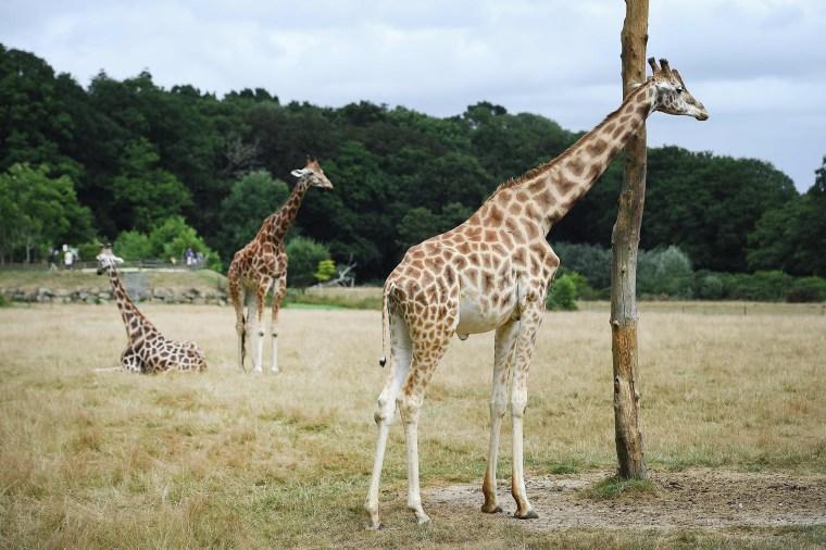 Giraffes in France