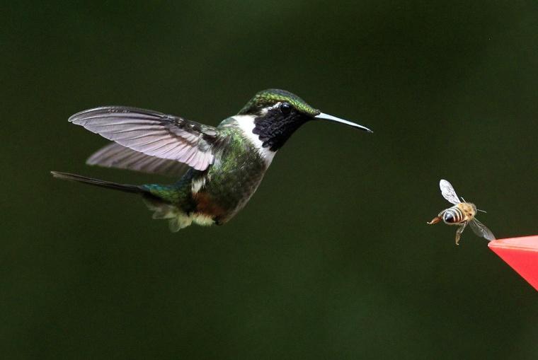 Hummingbird in Columbia
