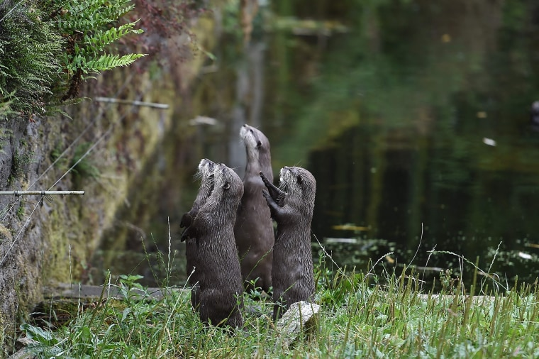 Otters in France