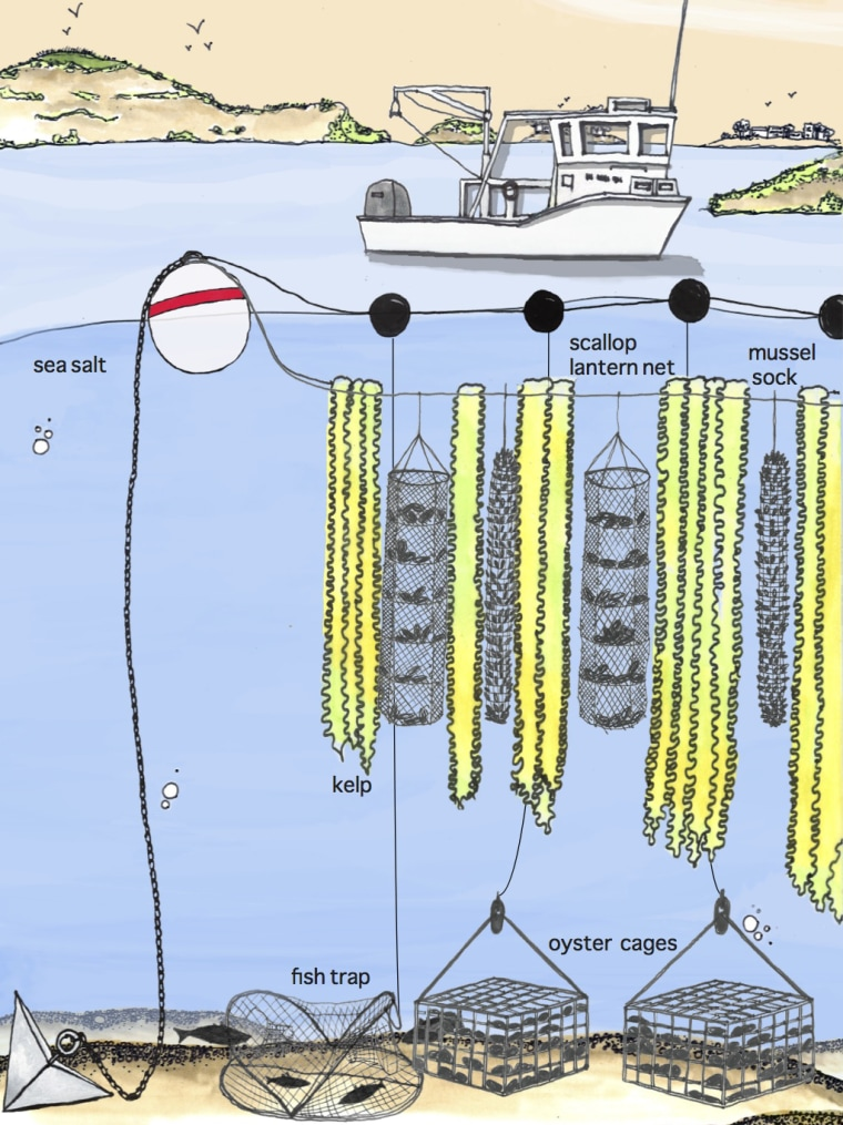 An illustration of a 3-D or vertical ocean farm from GreenWave shows how underwater agriculture works, with kelp growing adjacent to scallops, mussels and oysters.