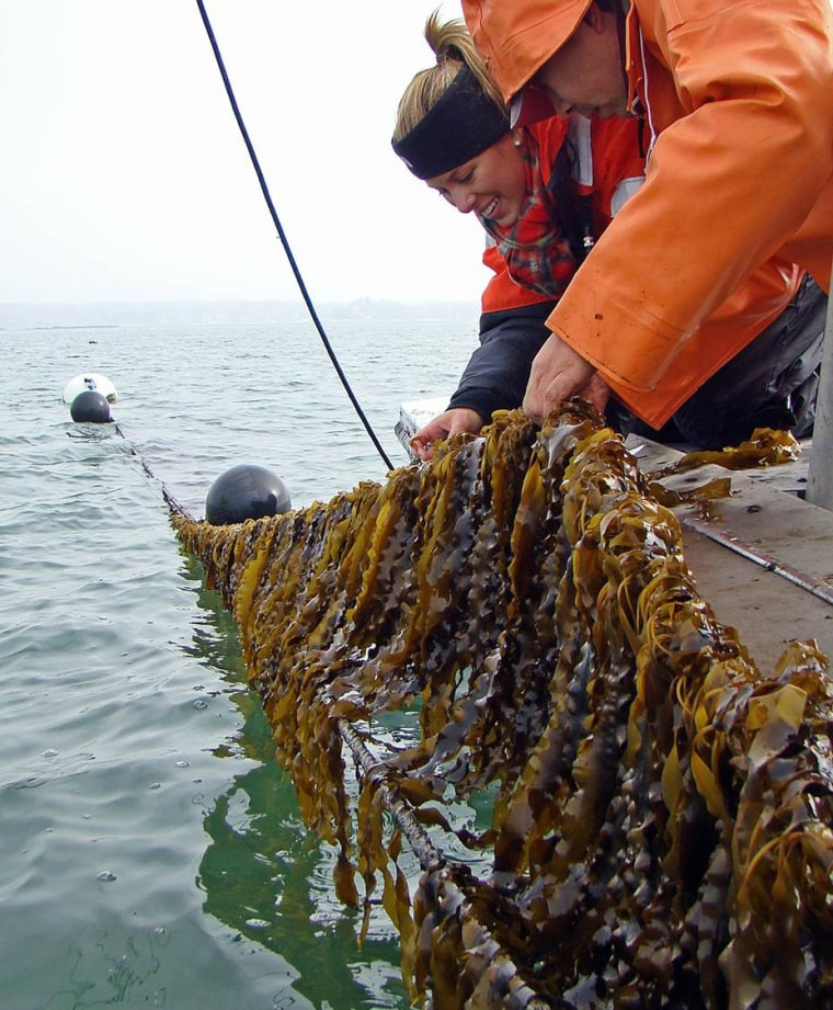 University of Connecticut researchers pull seaweed out of Long Island Sound.