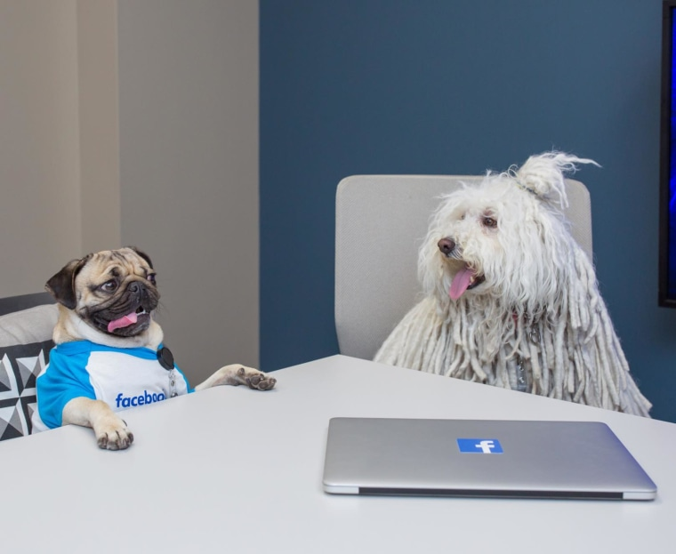 Doug The Pug and Beast in Zuckerberg's office.