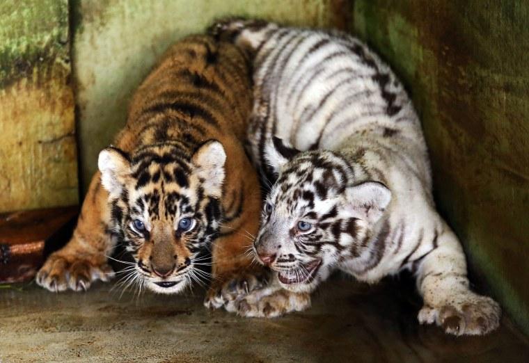 Image: Bengal Tiger cubs in Medan