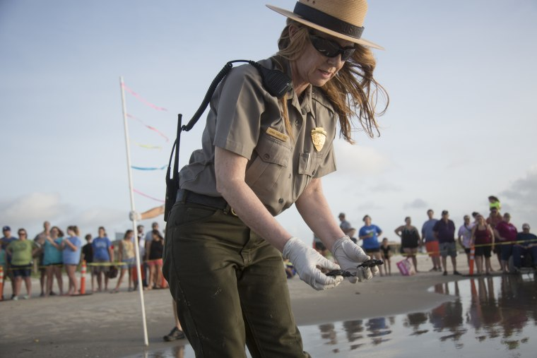 Image: Dr. Donna Shaver releases a Kemp's Ridley turtle hatchling into the Gulf of Mexico