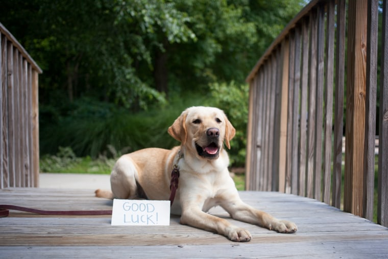 Wrangler is finishing up his formal guide dog training and will soon be placed with a visuall impaired person