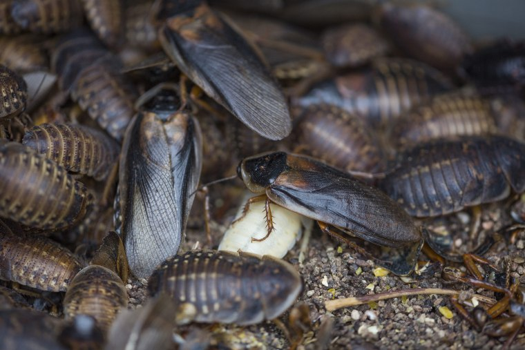 Image: Cockroaches