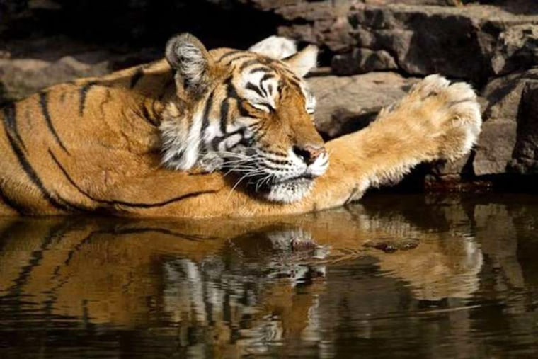 Image: The female tiger, often called the Queen of Ranthambore, died aged 19.