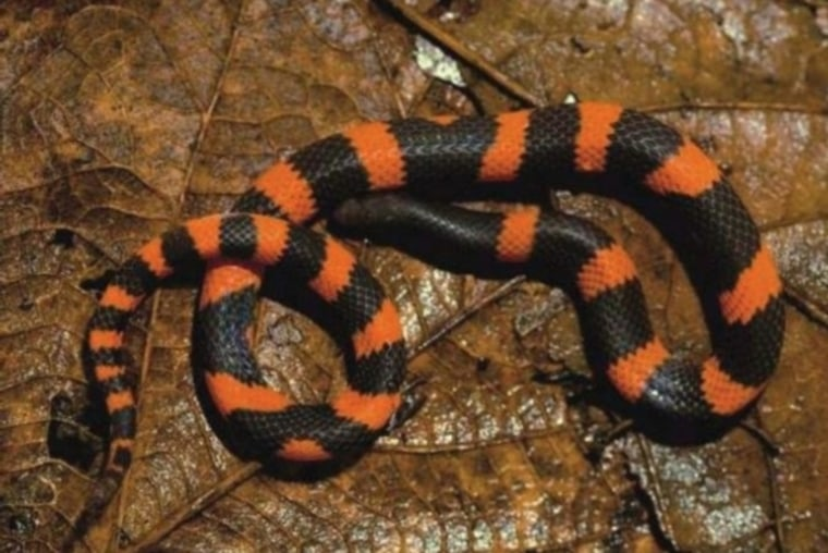 A new species of the 'Geophis dubius' snake group found in Mexico.