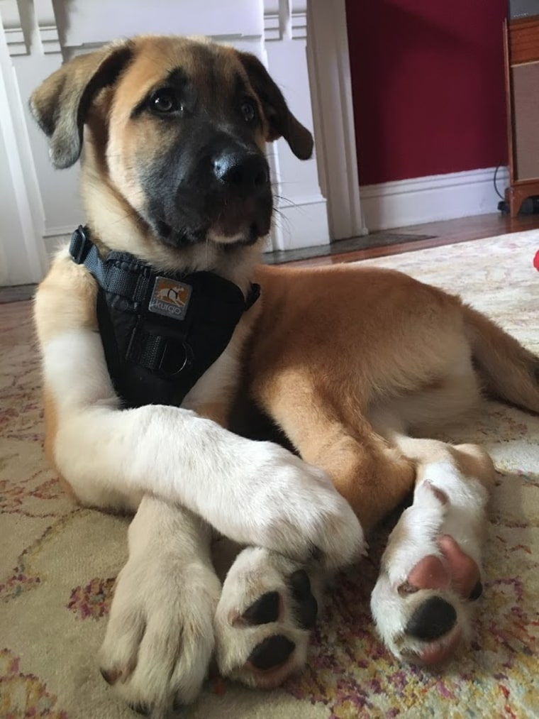 "After being rejected by a pet rescue organization, one couple found their way to pet ownership through a friend looking to place a litter of puppies. Here, Cassius ""Cash"" Thunderpaws relaxes in his new home."