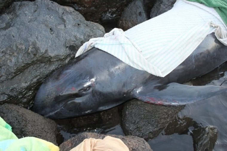 Wananalua, the melon-headed whale which stranded and died June 2014 at Kawaihae, on the Big Island of Hawaii.