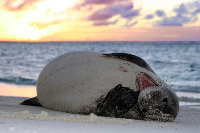 An endangered Hawaiian monk seal in the Papahanaumokuakea Marine National Monument.