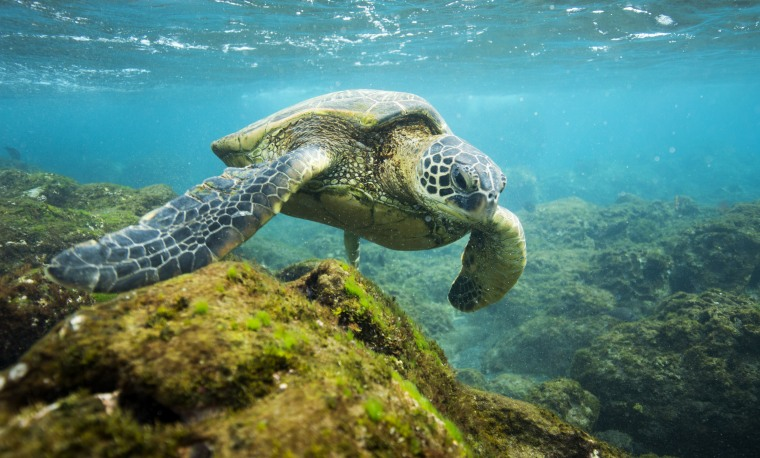 A sea turtle in the Papahanaumokuakea Marine National Monument in the northern Hawaiian Islands.