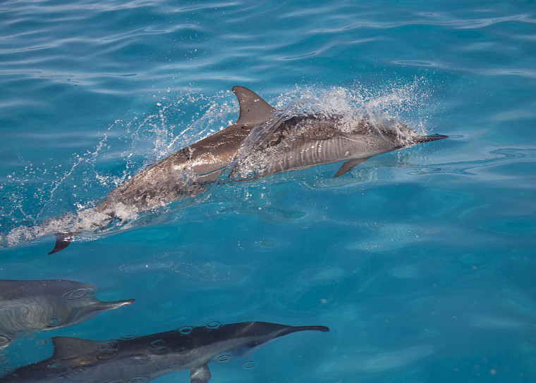 Spinner dolphins in the Papahanaumokuakea Marine National Monument