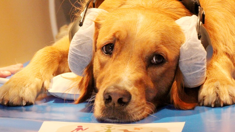 A Golden Retriever was trained to lie to completely still in a fMRI, which measured its brain activity as the dog listened to its trainer's speech.