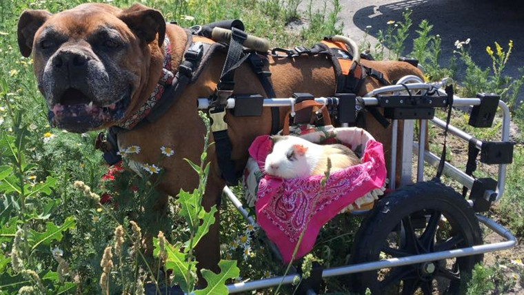 Disabled dog and guinea pig are BFFs