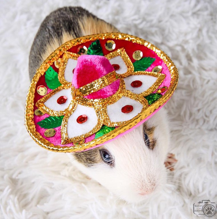 Smores the sombrero-wearing guinea pig