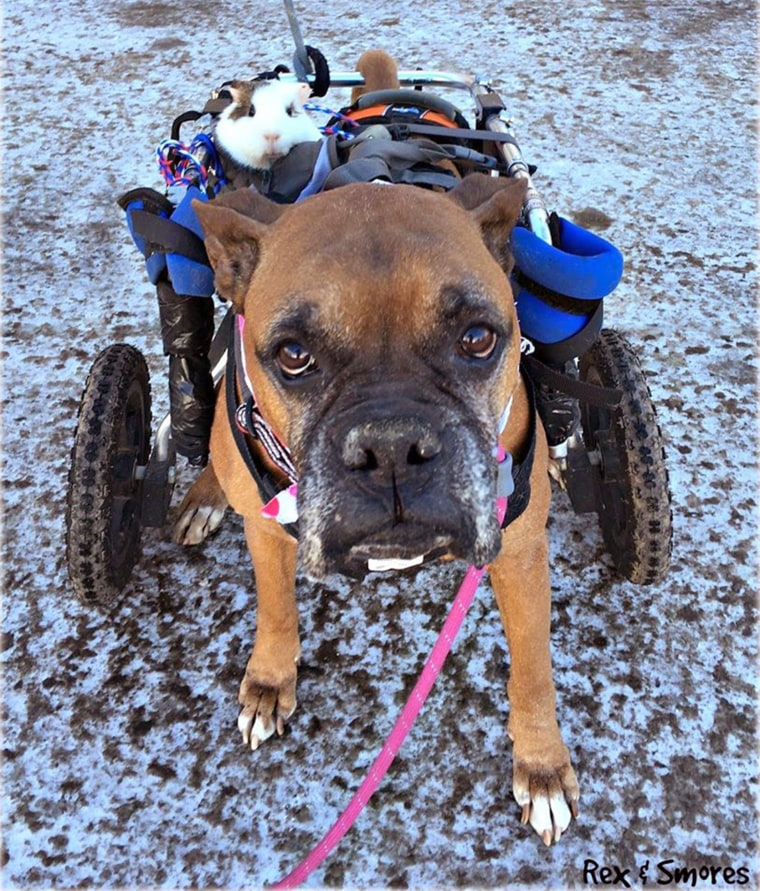 Disabled dog and Guinea pig are BFF's.