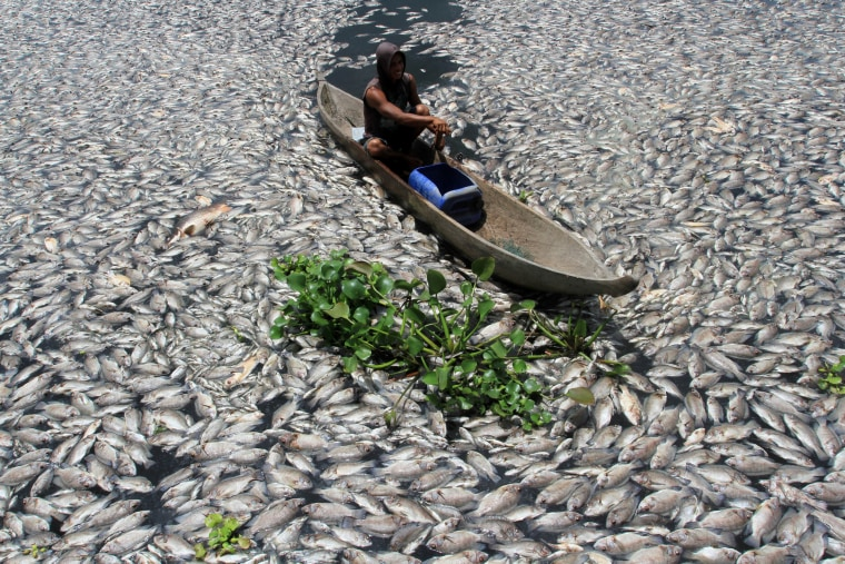 Image: A man steers a wooden boat through dead fish in a breeding pond at the Maninjau Lake in Agam regency