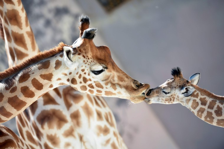 Image: A baby giraffe kisses his mother