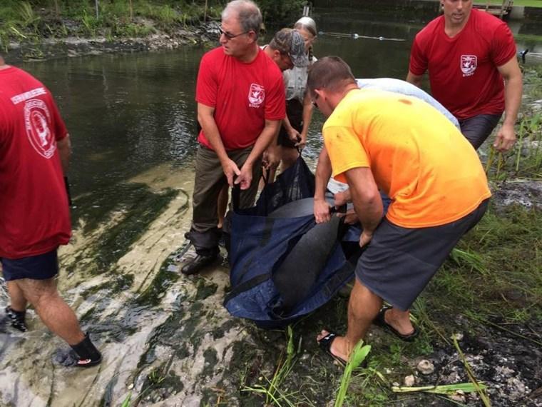 IMAGE: Florida manatee rescue