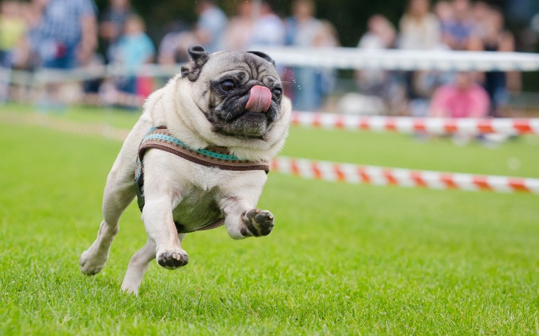 Image: TOPSHOT-GERMANY-ANIMAL-PUG