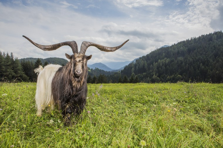 Rasputin - Largest Horn Spread On A Goat