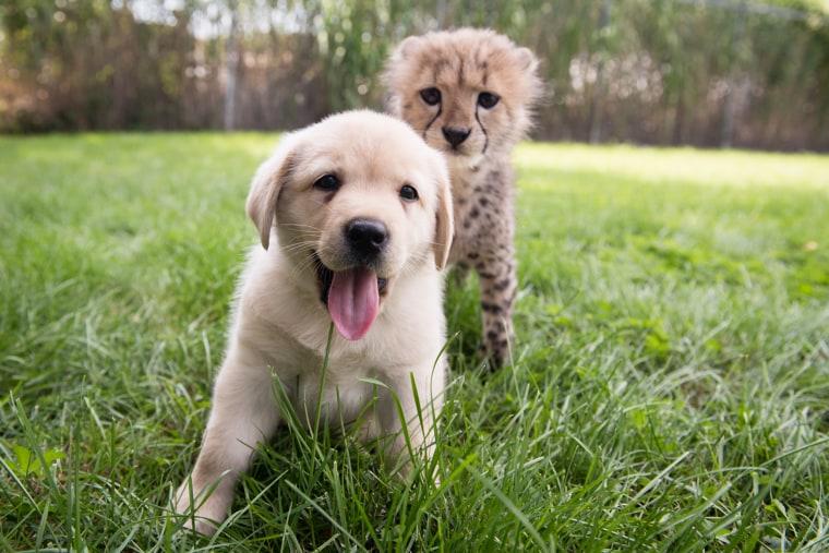 10-week-old cheetah cub, Emmett and his 7-week-old puppy buddy, Cullen
