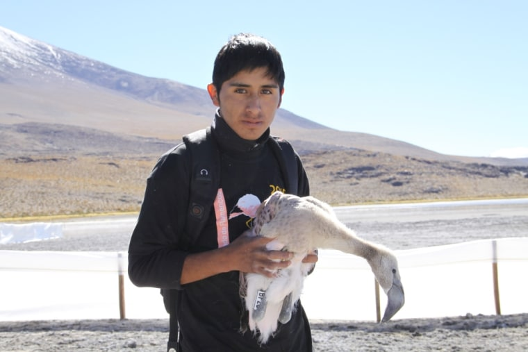 Bolivian high-school student with recently banded flamingo chick