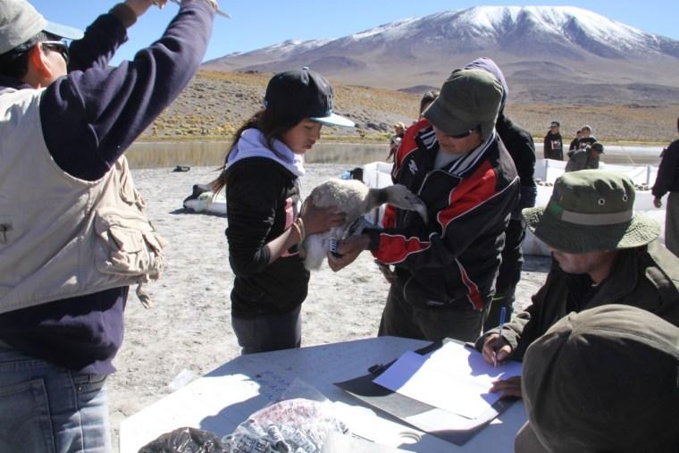 volunteers tagging baby flamingo