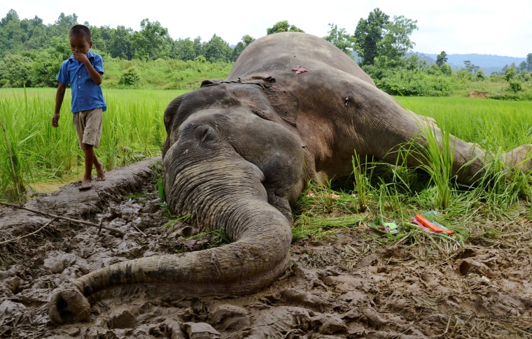 Image: A boy walks past the carcass of a male elephant who forest officials suspected to have died after eating paddy sprayed with pesticides in a field in Nagaon