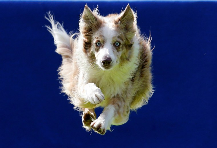 Image: A dog jumps into the pool during the Flying Dogs competition in Kamnik, Slovenia
